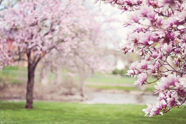 kvetoucí magnolie